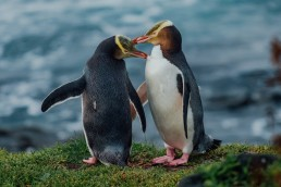 Yellow-Eyed penguin couple