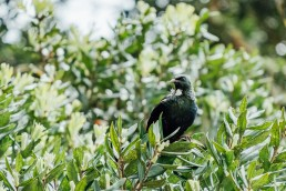 Tui in a Tree