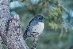 New Zealand South Island Robin
